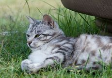 Cat resting in green grass. Serious cat resting in green grass Stock Photography