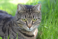 Cat resting. Grey cat resting under the tree Royalty Free Stock Image