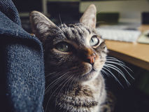 Cat resting on the lap of a person. At home Royalty Free Stock Photo