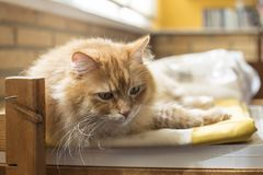 Cat resting with lost eyes. Cat lying resting on a cushion, while looking at an undefined place royalty free stock photo