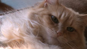 Cat resting 1 3 stock video