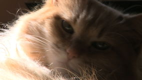 Cat resting 3 3 stock footage