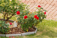 A cat  is resting in a rose garden Royalty Free Stock Photos