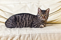 Cat resting on the sofa. Cute tiger cat resting on the sofa Royalty Free Stock Photography