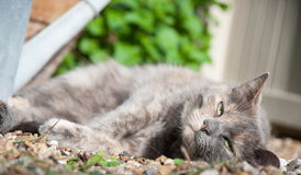 Cat resting in the sun. A gray cat lying on the ground, resting, its eyes half open Stock Photos