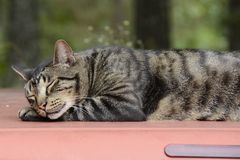 Cat Resting sur le dessus de camion au Missouri Images libres de droits