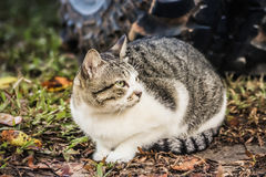 Cat Is Resting. Tabby Cat Is Resting On Ground In The Garden royalty free stock photo