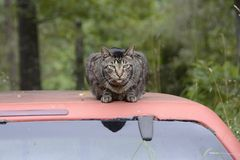 Cat Resting on Truck Top in Missouri. ALTON, MI - JULY 30: A local cat resting peacefully on an empty truck top on July 30, 2014 in Alton, Missouri. Alton's Stock Photography