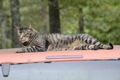 Cat Resting on Truck Top in Missouri. ALTON, MI - JULY 30: A local cat resting peacefully on an empty truck top on July 30, 2014 in Alton, Missouri. Alton's Royalty Free Stock Images