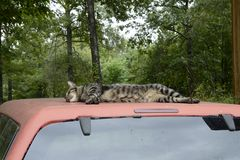 Cat Resting on Truck Top in Missouri. ALTON, MI - JULY 30: A local cat resting peacefully on July 30, 2014 in Alton, Missouri. Alton's population was 871 at the Stock Images