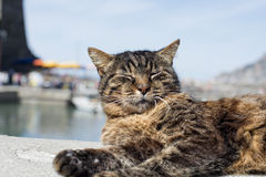 Cat while resting in Vernazza harbor Stock Photos