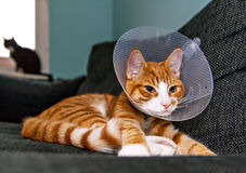 Cat resting with veterinairy cone Stock Image