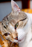 Cat is resting. White- gray cat is resting Royalty Free Stock Photo