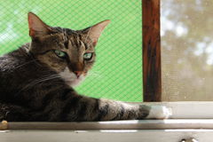 Cat. Resting on the window Stock Photography