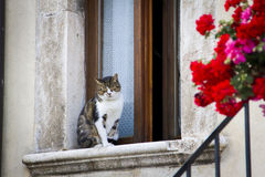 Cat resting on a window. With red flowers on the right Royalty Free Stock Photos