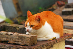 A Cat Resting on Wooden Surface Royalty Free Stock Image