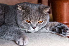 Cat rests. On a chair in home room Stock Images