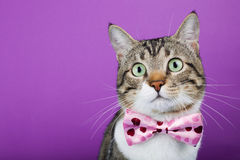 Cat  with a ribbon Stock Photography