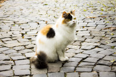 Cat on the road Royalty Free Stock Photo