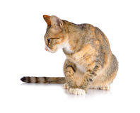 Cat Roan on a white background Stock Images