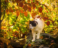 A cat on a rock. Photo taken of my cat on a rock in autumn royalty free stock images