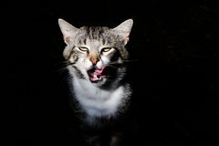 Cat with rolled eyes licked Stock Photo