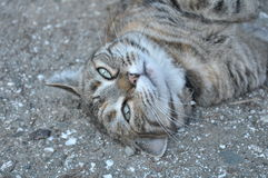Cat rolling in the dirt. A cat rolling in the dirt on the ground Royalty Free Stock Images