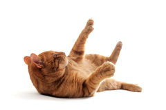 Cat rolling over Royalty Free Stock Photography