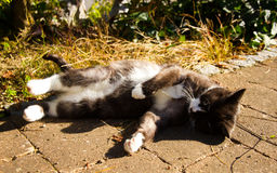 Cat rolls around in the sun. Lovely black and white cat plays in the sun Royalty Free Stock Photos