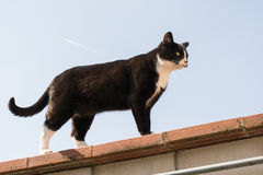 Cat on roof. Black and white cat standing on rooftop against blue skies Royalty Free Stock Photography