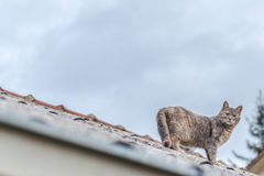 Cat on the roof Stock Photography