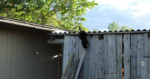 Cat on the roof of the shed in the afternoon.  stock video footage