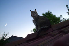 Cat on roof watching for the Moon. Domestic cat sitting on roof and watching for sky with the Moon Royalty Free Stock Photography