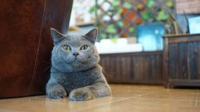 Cat in the room. British Shorthair Cat in the room Stock Photos