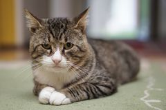 Cat in room isolated. With blurred background Royalty Free Stock Images
