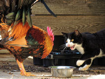 Cat and Rooster 002 Stock Photo