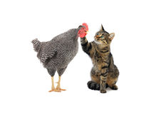 Cat and rooster Stock Image