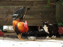 Cat and Rooster 003 stock photo