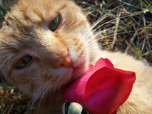 Cat and a rose. The red cat is played with a red rose Stock Photography