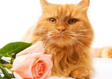 Cat with rose Royalty Free Stock Photography