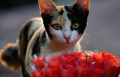Cat and rose Royalty Free Stock Photo