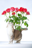 Cat and roses. Cat with bunch of roses on background isolated on white Royalty Free Stock Photography
