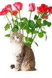 Cat and roses. Cat with bunch of roses on background isolated on white Royalty Free Stock Photos
