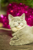 Cat with round eyes near the Christmas tree Royalty Free Stock Photography