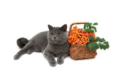 Cat and rowan berries in a wicker basket on a white background Stock Photography