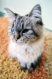 Cat on a rug. White and grey cat is sitting on a colourful carpet in a living room Stock Photography