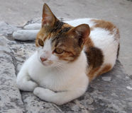 Cat in ruins Ephesus in Turkey. Cat in the ruins of the ancient city of Ephesus in Turkey Royalty Free Stock Photo