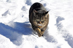 Cat running through the snow Royalty Free Stock Image