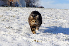 Cat runs relaxed and curious through the snow Stock Images