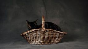Cat In Rustic Wicker Basket Fotografie Stock